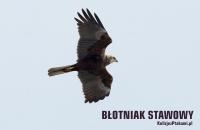 blotniak_stawowy