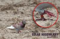 golab-hodowlany